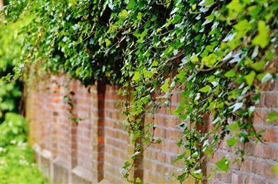 Zelená fasáda s lezeckými rastlinami