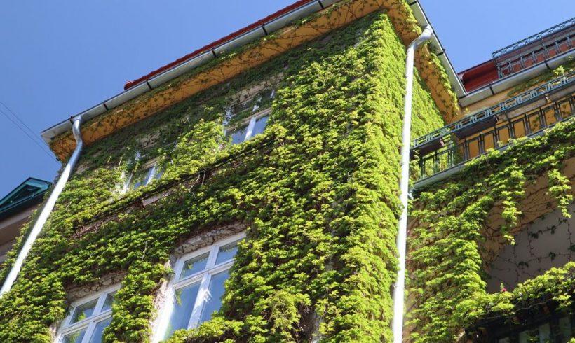 Ako oživiť steny popínavými rastlinami?